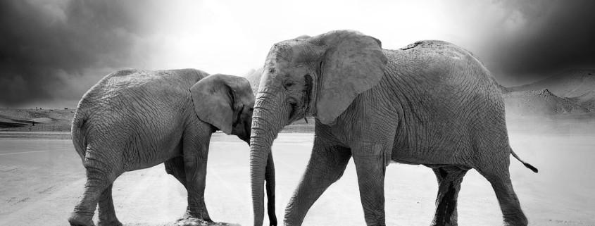 Due elefanti in bianco e nero